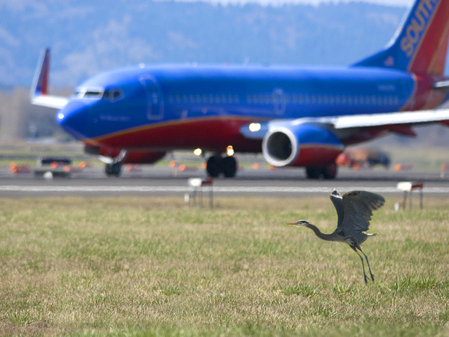 Great blue heron alighting on airfield at Portland International Airport.