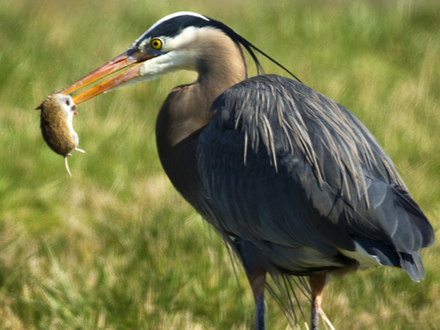 Great blue heron feeding on a gray–tailed vole.