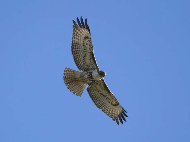 Hatch-year red-tailed hawk