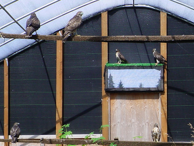 Flight cages on Sauvie Island where young Red-tailed hawks learn to fly and hunt.