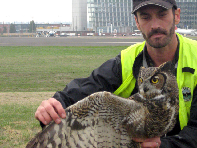 Nick Atwell, Aviation Wildlife Manager, with an injured Great-horned owl. The owl was transported to the Audubon Society Wildlife Care Center, where it was treated and then released.
