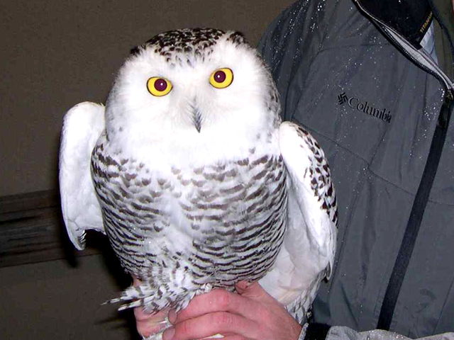 The first snowy owl capture at the airport.