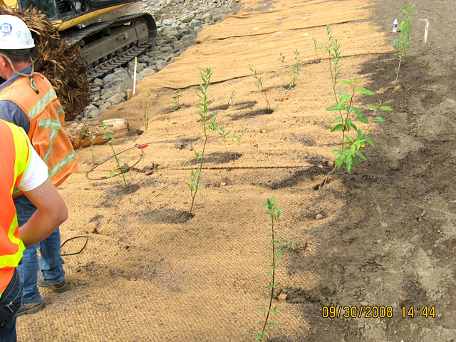 Wheeler Bay: Native plants being planted through openings cut in jute matting.